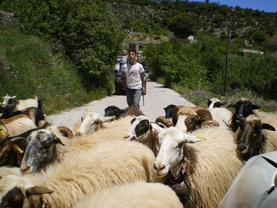 Sheep_in_crete_3